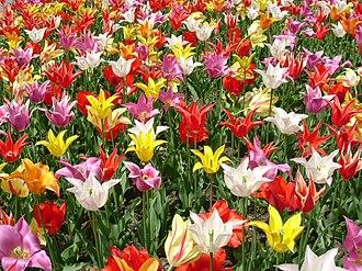 Ornamental bulbous plant - Tulips (Tulipa), a popular species of bulbous plant