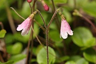 Linnaea borealis - Linnaea borealis ssp. longiflora in flower, near the Matanuska Glacier in Alaska
