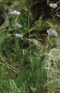 Österreichischer Lein (Linum austriacum)