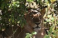 Lion, Ruaha National Park (8) (28409982783).jpg