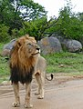 Lion (Panthera leo) looking up (maybe a leopard in a tree) ... (50133476633).jpg