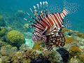 Lion Fish (13002597384).jpg