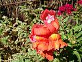 Lion mouth flower.jpg