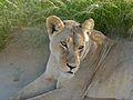 Lioness (Panthera leo) (6875280854).jpg