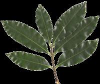 laurus plant