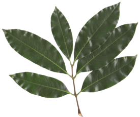 Litchi chinensis leaf.png