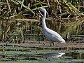 Little Egret (29813823537).jpg