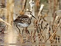 Little Stint (Calidris minuta) (31087001598).jpg
