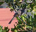 Little Wattle Bird. Anthochaero chrysoptera - Flickr - gailhampshire (1).jpg