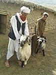 Livestock vaccination (16292218548).jpg