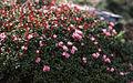 Loiseleuria procumbens Padjelanta.jpg