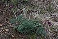 Lomatium columbianum 7699.JPG