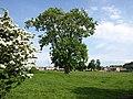 Lone tree, Stevenston - geograph.org.uk - 822000.jpg