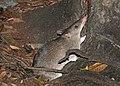 Long-nosed Bandicoot JCB.jpg
