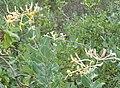 Lonicera etrusca.jpg