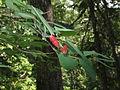 Lonicera utahensis RF.jpg