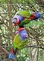 Lorius lory -Cincinnati Zoo, Ohio, USA-8a (4).jpg