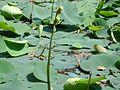 Lotus buds.jpg