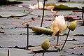 Lotus the floting flower.jpg