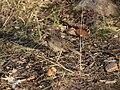 Luscinia svecica -northern Lapland, Finland -juvenile-8.jpg
