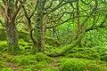 Lush forest scenery in Killarney Park, Ireland.jpg