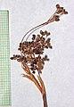 Luzula parviflora2.jpg