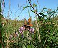 Lycaena phlaeas (Small Copper) - Flickr - S. Rae (3).jpg