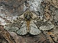Lycia hirtaria ♂ - Brindled beauty (male) - Пяденица-шелкопряд бурополосая (самец) (39117612860).jpg