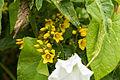Lysimachia vulgaris (19873794448).jpg