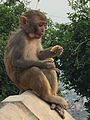 Macaca mulatta, Kathmandu.jpg