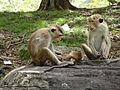 Macaca sinica in Polonnaruwa 03.JPG