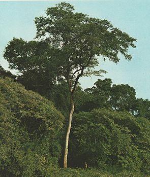 Färbermaulbeerbaum (Maclura tinctoria)