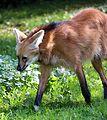 Maehnenwolf Chrysocyon brachyurus Tierpark Hellabrunn-14.jpg