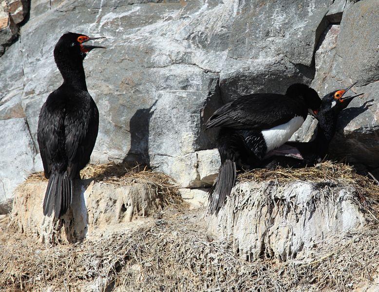 File:Magellanic Cormorants mating (5524744911).jpg