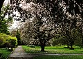 Magnolia Trees in Royal Victoria Park, Bath - panoramio.jpg