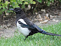 Magpie in Madrid (Spain) 11.jpg