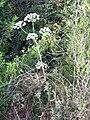 Magydaris panacifolia Polinizador 2011-6-23 SierraMadrona.jpg