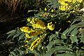 Mahonia flower @ Square Léon @ La Goutte d'Or @ Paris (31779689721).jpg