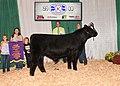 Maine-Anjou Grand Champion Bull (44399483014).jpg