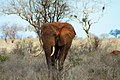 Majestic red elephant of Tsavo East (5232098119).jpg