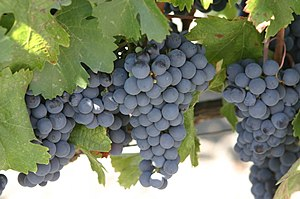 Malbec grapes. Taken at the Robert Mondavi Win...