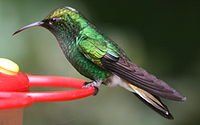 Male Elvira cupreiceps at feeder - closeup