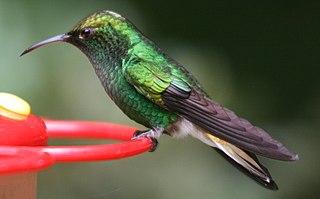 Coppery-headed emerald Species of bird