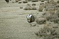 Male Greater Sage-Grouse (7094295275).jpg