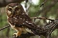 Male Northern Saw-whet Owl (7364047820).jpg