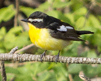 Yellow-rumped flycatcher - Adult male (Korea)