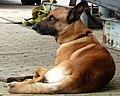 Malinois, Belgian Shepherd 02.jpg