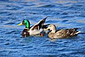 Mallard Pair on Seedskadee National Wildlife Refuge (26148195811).jpg