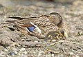 Mallard female with offspring.jpg