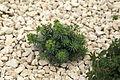 Malta - Mellieha - Triq l-Inkurunazzjoni - Euphorbia pinea 01 ies.jpg
